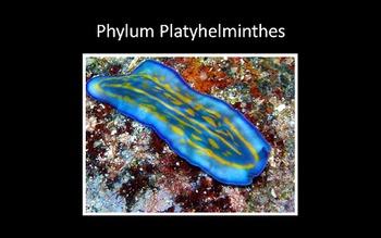 Csíraréteg található a platyhelminthesban - Mi a mezodermából, és mi a fejlődés?