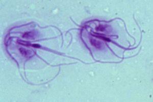 giardia kat zwanger