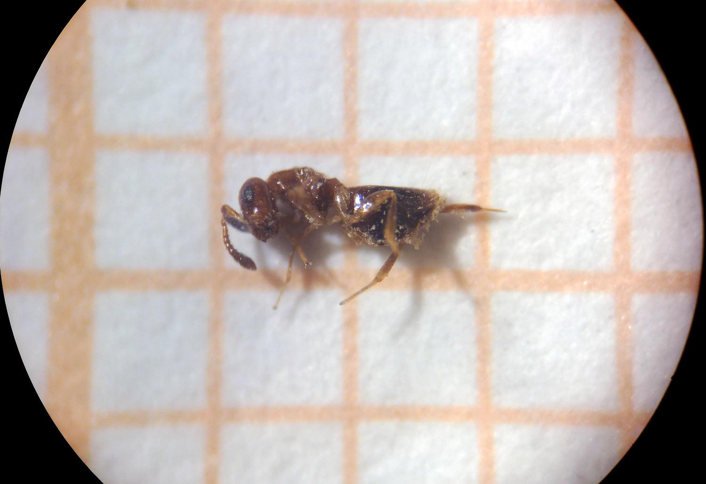 kókuszolaj a pinwormok eltávolítására)
