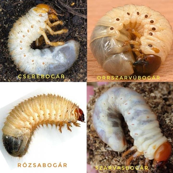az álparaziták meghatározása dvdrip paraziták