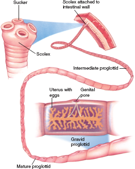 platolehelminthes scolex és proglottids