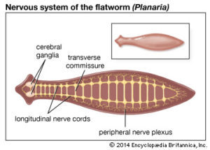 platyhelminthes filetyp ppt)