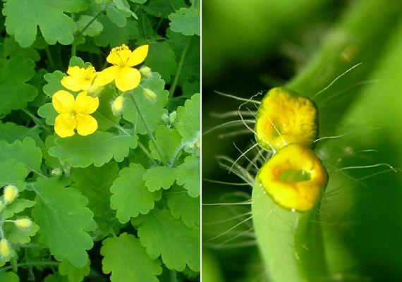 szemölcs növény
