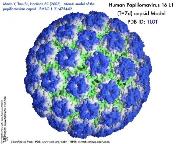humán papilloma vírus hpv))