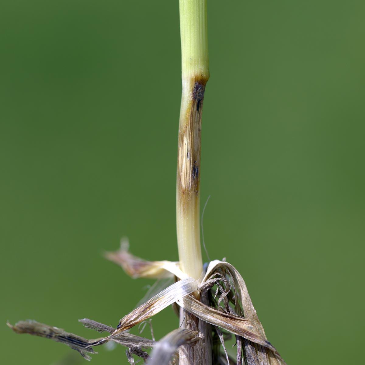 parazita rostlin