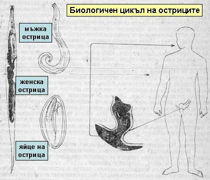 enterobiosis szűrése az óvodásoknál