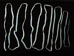 galandféreg parazita jelei)