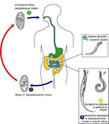 enterobiosis szűrése az óvodásoknál platyhelminthes planaria