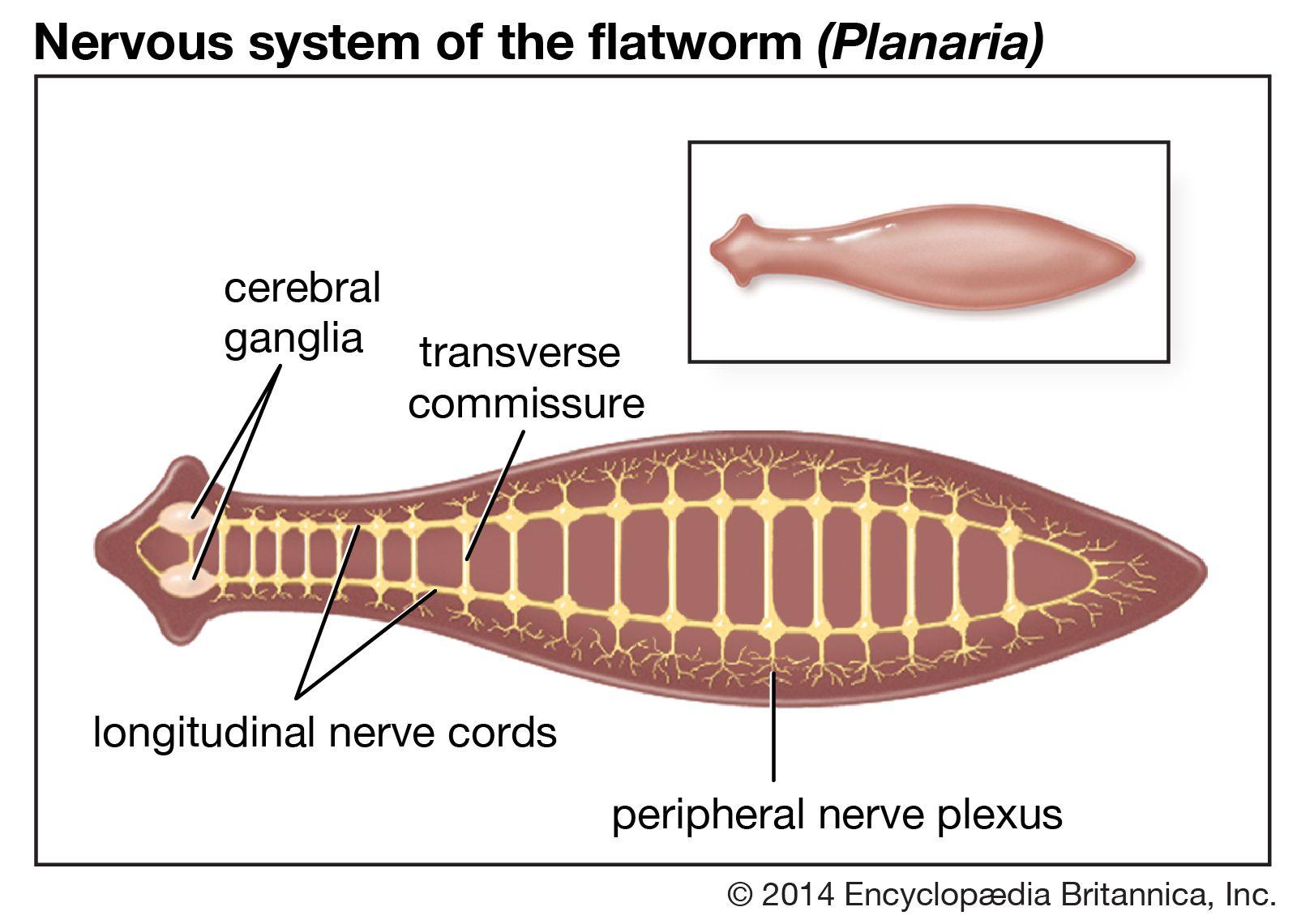 platyhelminthes planaria)