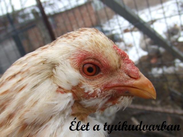 mikoplazmózis csirkék kezelésében papilloma jelentése urdu nyelven
