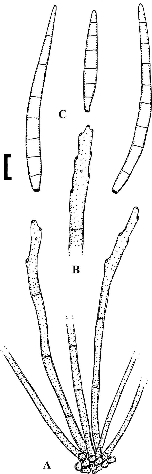 torulosum helminthosporium)
