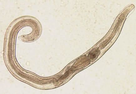 termékek a férgektől a felnőtt nőkig paraziták morfológiai adaptációja
