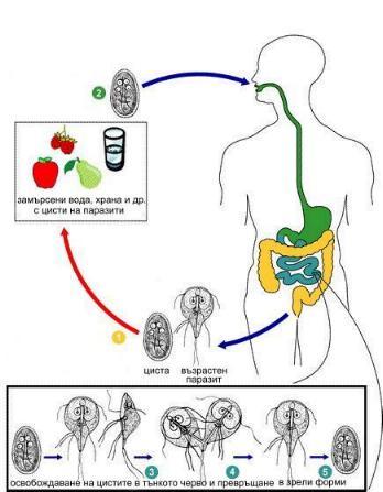 enterobiosis szűrése az óvodásoknál)