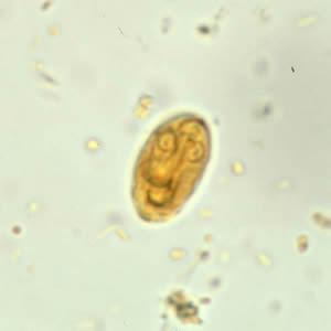a giardiasis életciklusa cdc a giardia zoonotikus potenciálja