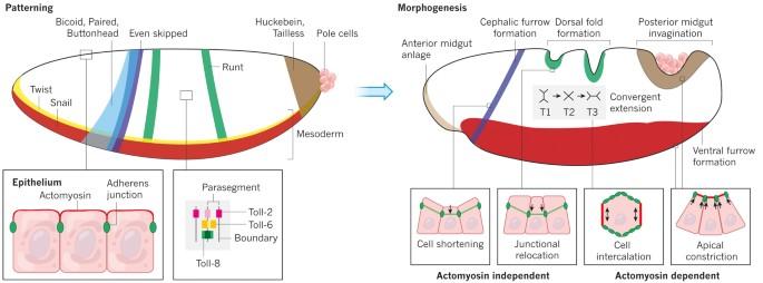 helmintikus terápia usa miért fordulnak elő gyakran a pinwormok
