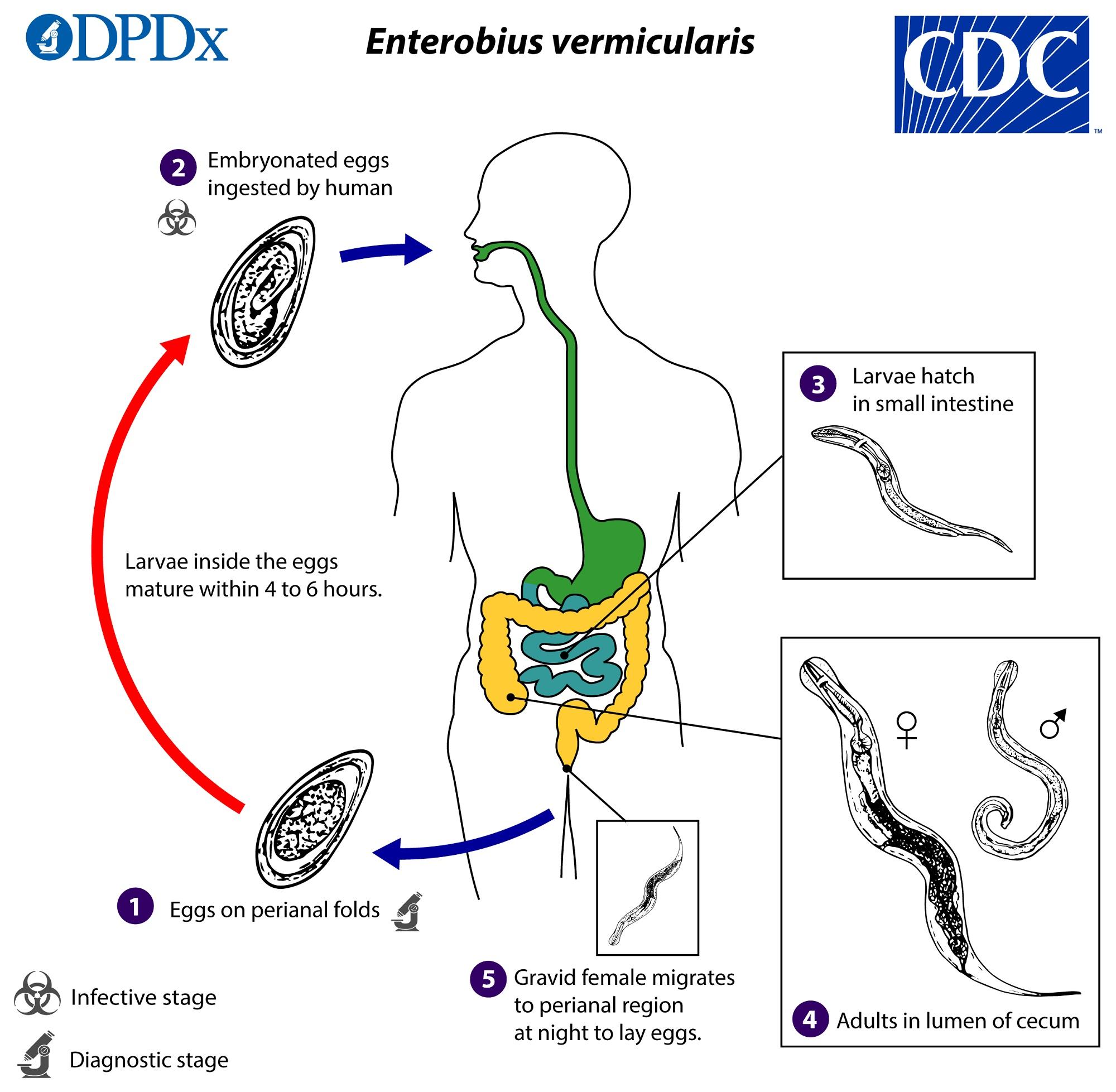 pinworms cdc életciklus