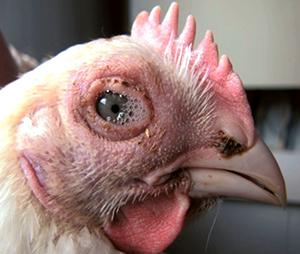 mikoplazmózis csirkék kezelésében gyomorrák 30 év alatt