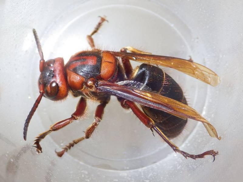 szélessávú méh)